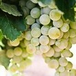 Seedless Grapes That Aren't